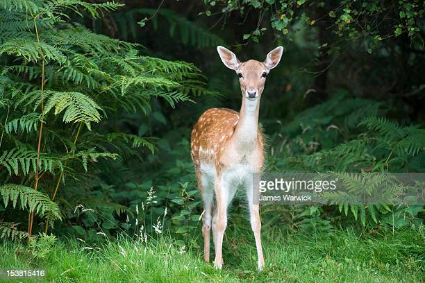 fallow deer doe (female) - femmina di daino foto e immagini stock