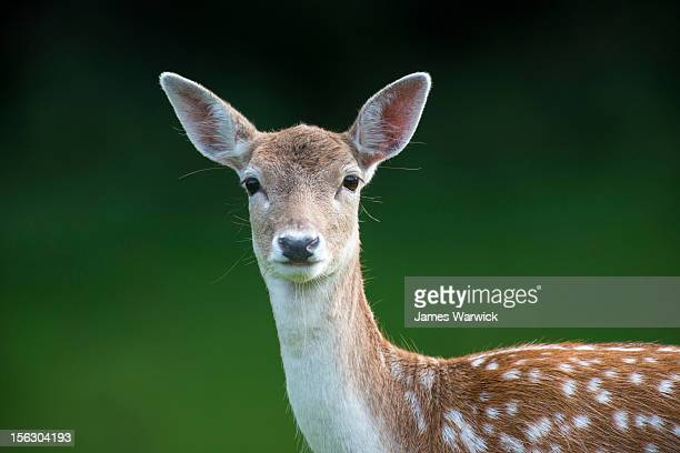 fallow deer doe (female) portrait - biche photos et images de collection