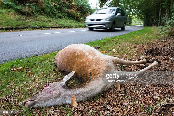 fallow deer doe roadkill on verge - dead deer stock photos and pictures