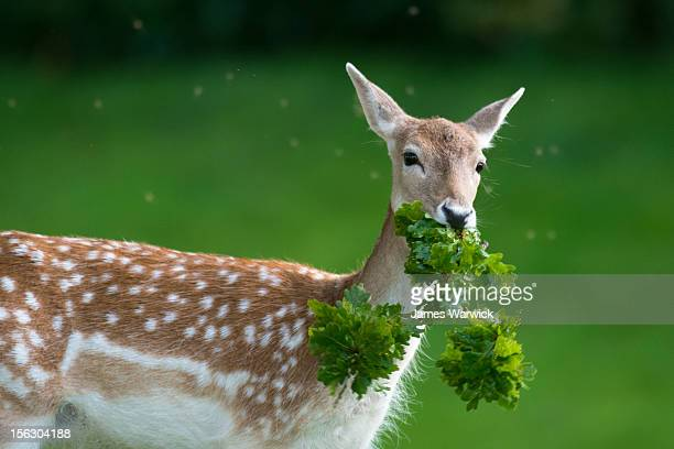 fallow deer doe (female) with oak tree branch - oak leaf stock pictures, royalty-free photos & images