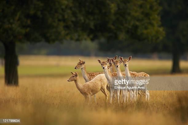 fallow deer (dama dama), england - deer stock pictures, royalty-free photos & images