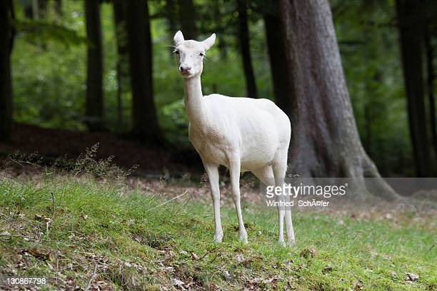 Fallow Deer (Dama dama), female, albino, Daun Deer Park, Eifel, Rhineland-Palatinate, Germany, Europe