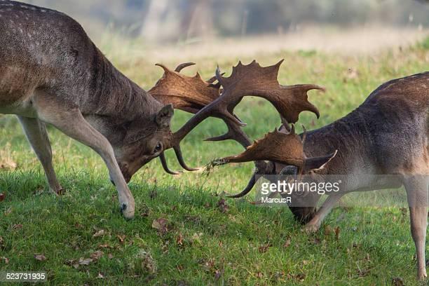 Fallow deer fighting