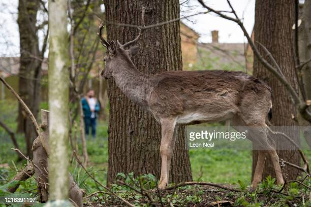 Fallow deer from Dagnam Park peers around a tree at a passersby as it stands in a patch of woodland outside homes on a housing estate in Harold Hill...