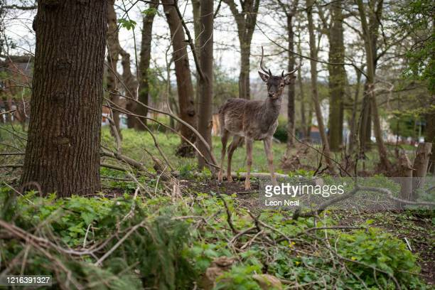 Fallow deer from Dagnam Park rest and graze in a patch of woodland outside homes on a housing estate in Harold Hill near Romford on April 02 2020 in...
