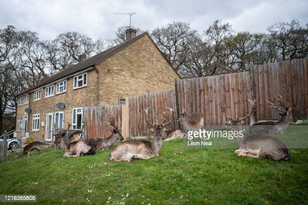 Fallow deer from Dagnam Park rest and graze on the grass outside homes on a housing estate in Harold Hill near Romford on April 02 2020 in Romford...
