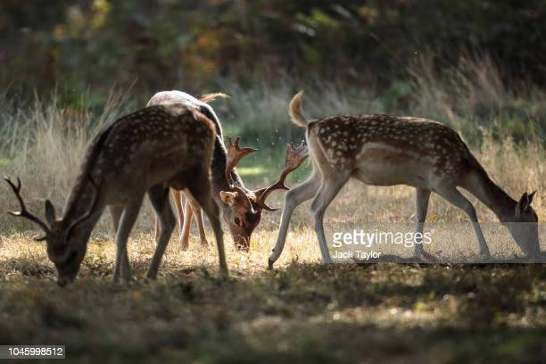 Fallow deer graze in Richmond Park on October 5 2018 in London England The months of Autumn are rutting season for deer which see the male animals...