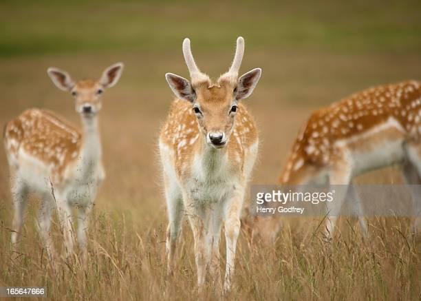 Fallow deer grazing in Richmond Park, London.