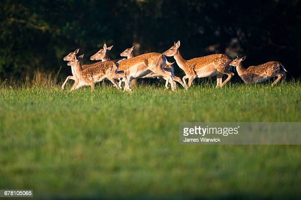 fallow deer herd on the move - deer stock pictures, royalty-free photos & images