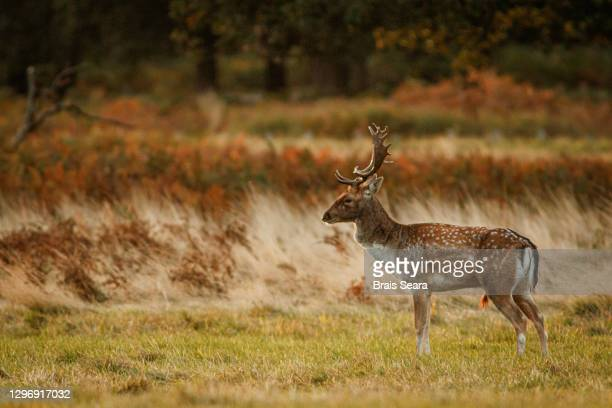 fallow deer (dama dama) in grassland. - agricultural field stock pictures, royalty-free photos & images