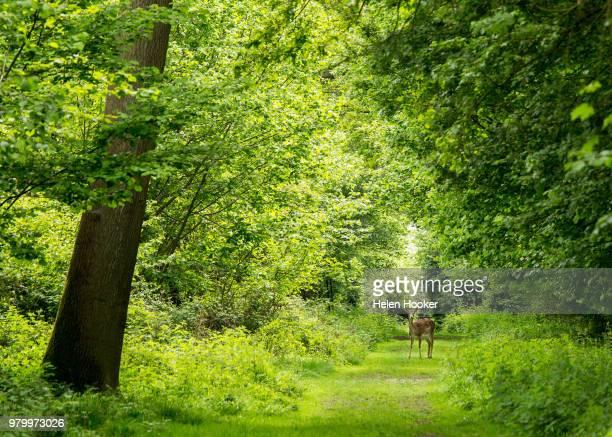 Fallow deer (Dama dama) in green forest, Essex, UK