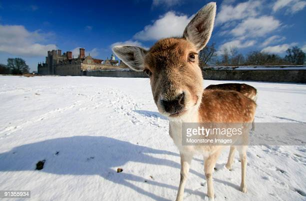 fallow deer in kent, england - kent county stock pictures, royalty-free photos & images