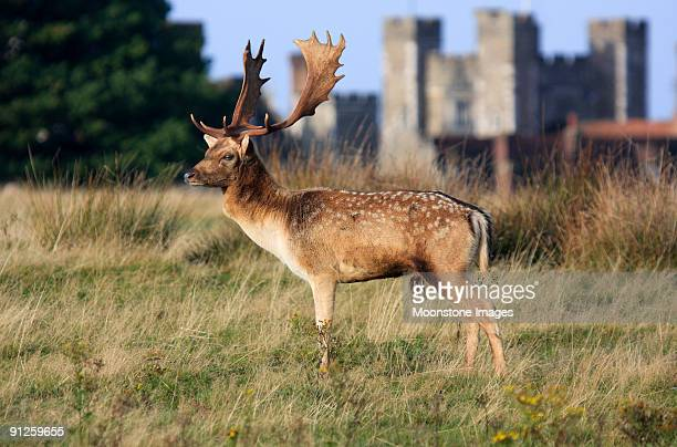 Fallow Deer in Knole Park, England