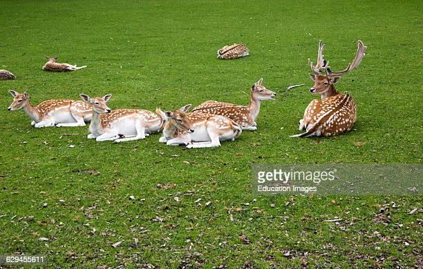 Fallow deer in small urban park Maastricht Limburg province Netherlands