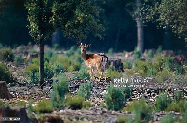 Fallow deer MigliarinoMassaciuccoliSan Rossore Natural Park Tuscany Italy