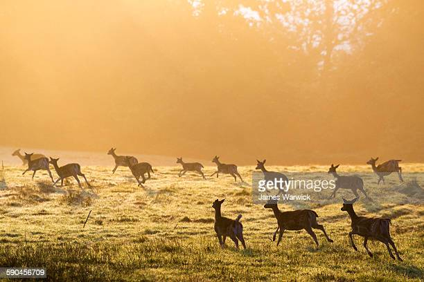fallow deer on the move across pasture at dawn - deer stock pictures, royalty-free photos & images