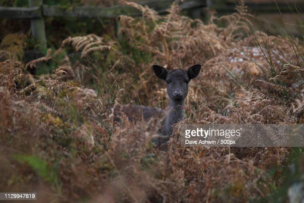 fallow deer - dave ashwin stock pictures, royalty-free photos & images