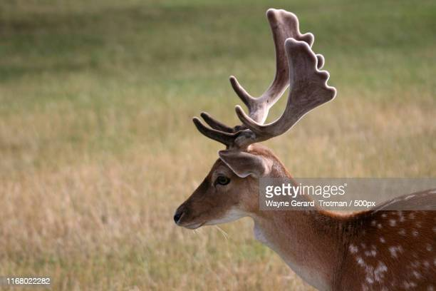 fallow deer - wayne gerard trotman stock pictures, royalty-free photos & images