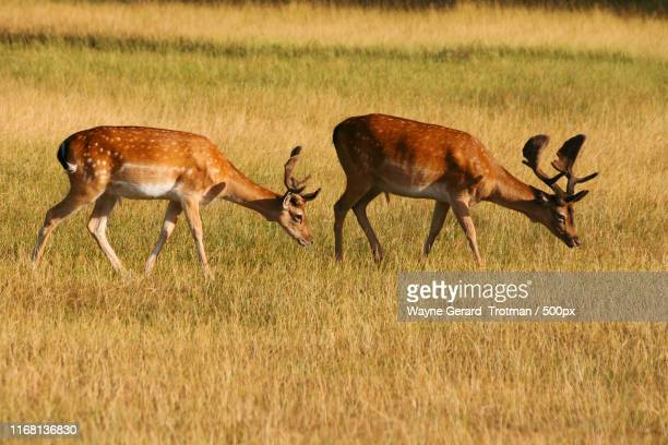 fallow deer - teddington stock pictures, royalty-free photos & images
