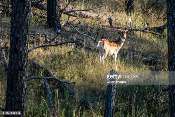 fallow deer - 休耕田 ストックフォトと画像