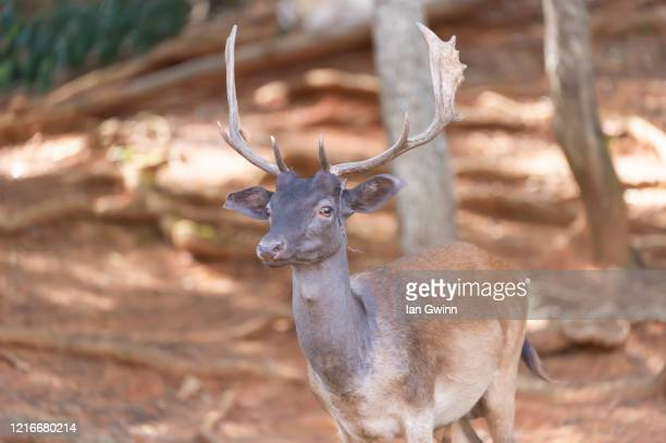 fallow deer - ian gwinn stock pictures, royalty-free photos & images