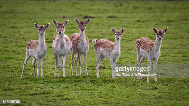 fallow deer - biche photos et images de collection
