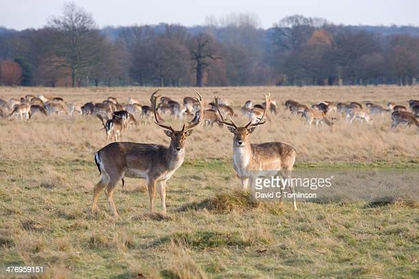 fallow deer, richmond, london, england - richmond park stock pictures, royalty-free photos & images