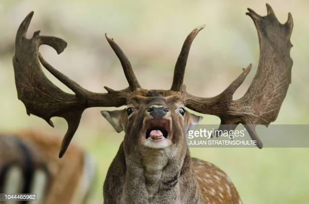 TOPSHOT A fallow deer roars during the rutting season in the zoological garden in Hannover northern Germany on October 2 2018 / Germany OUT