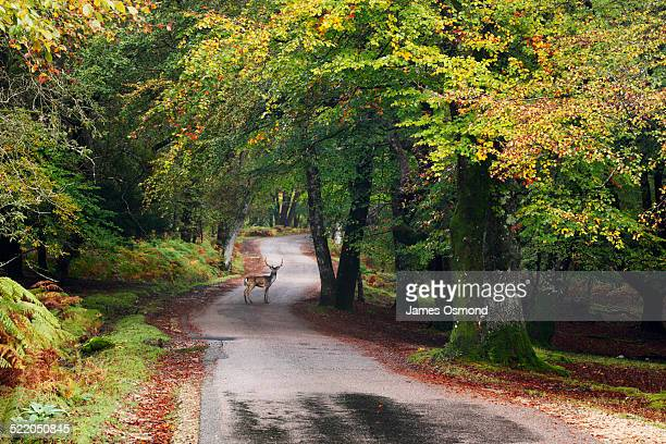 fallow deer stag crossing the road. - hampshire england stock pictures, royalty-free photos & images