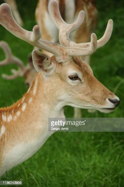 Fallow deer stag portrait