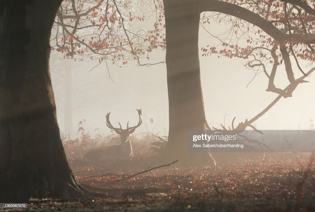 A fallow deer stag (Dama dama) rests in a misty and foggy Richmond Park one winter sunrise, Richmond, Greater London, England, United Kingdom, Europe : Stock Photo