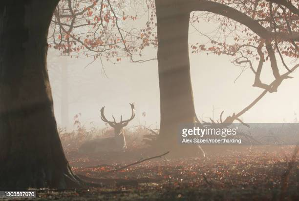 a fallow deer stag (dama dama) rests in a misty and foggy richmond park one winter sunrise, richmond, greater london, england, united kingdom, europe - alex saberi stock pictures, royalty-free photos & images