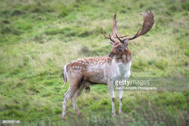 Fallow deer stag standing pround