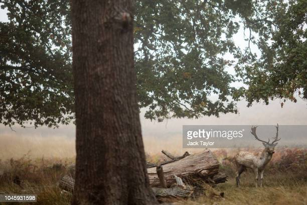 A fallow deer stag stands on a foggy morning in Richmond Park on October 5 2018 in London England The months of Autumn are rutting season for deer...