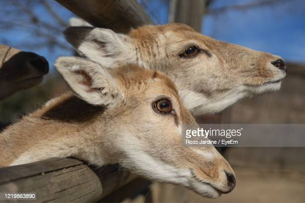 fallow deer waiting to be feed. - batemans bay stock pictures, royalty-free photos & images