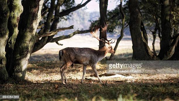 Fallow Deer Walking On Field Amidst Trees At Forest During Sunny Day