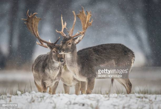 Fallow deers stand on a field as snow falls near MoerfeldenWalldorf central Germany on December 18 2017 / AFP PHOTO / dpa / Boris Roessler / Germany...