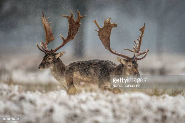 Fallow deers stand on a field as snow falls near Moerfelden-Walldorf, central Germany, on December 18, 2017. / Germany OUT