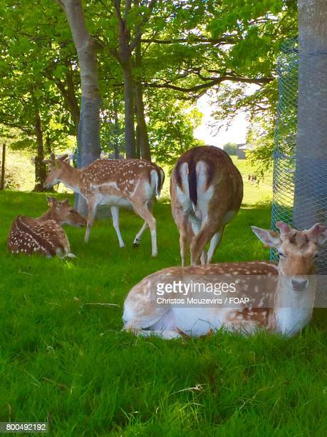 Fallow deers standing and resting at in dublin's phoenix park