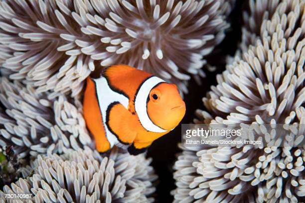 A false anemonefish (Amphiprion ocellaris) swims among the tentacles of its host anemone.