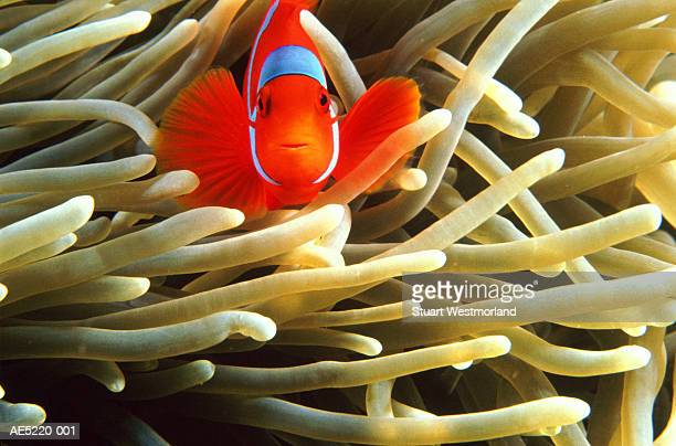 False clown anemonefish (Amphiprion ocellaris), Australia