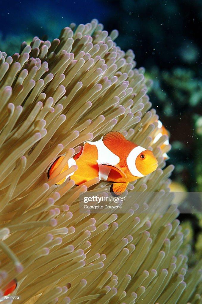 False clown anemonefish (Amphiprion ocellaris), close-up : Stock Photo