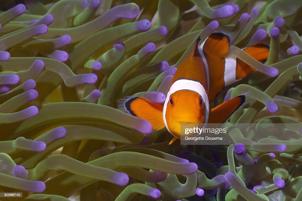 False clown anemonefish in anemone. : Stock Photo