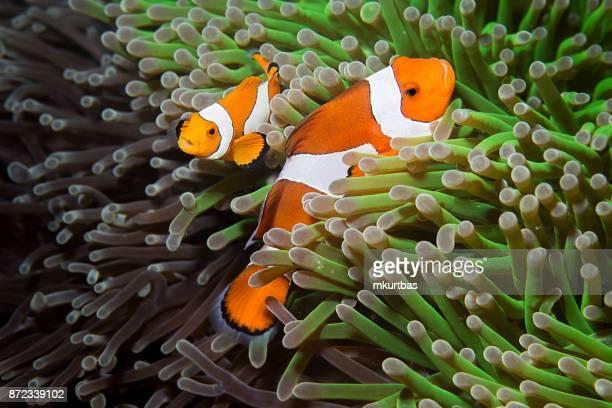 faux clown anemonefish, orange-ringel - poissons exotiques photos et images de collection