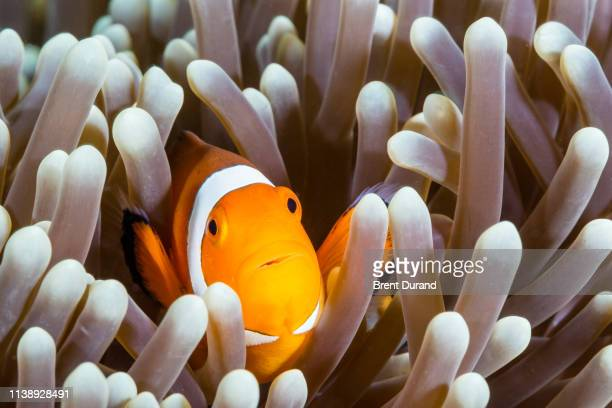false clown anemonefish - symbiotic relationship stock pictures, royalty-free photos & images