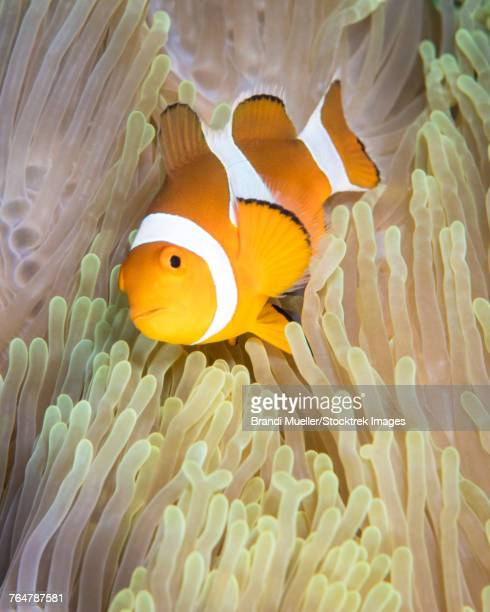 False clownfish in an anemone in Komodo National Park, Indonesia.