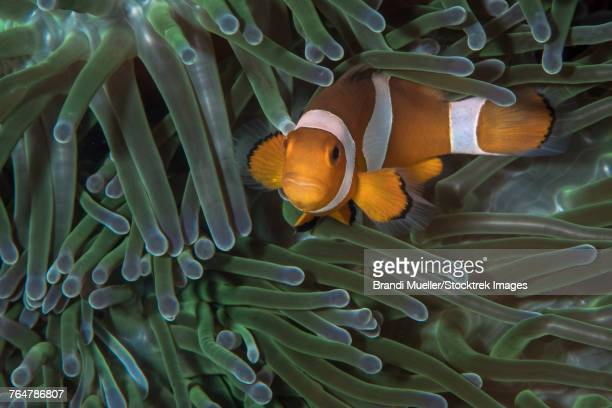 False clownfish in an anemone in North Sulawesi, Indonesia.