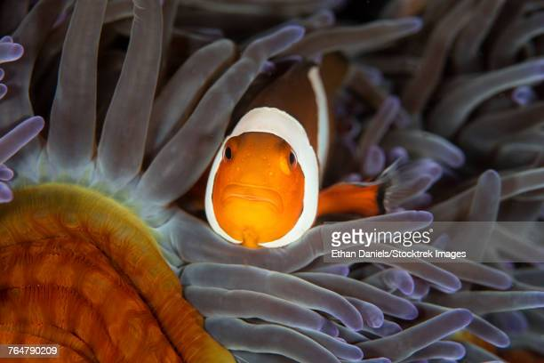 A false clownfish swims among the protective tentacles of its host anemone.
