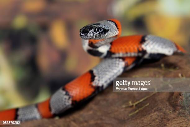 false coral snake - coral snake stock pictures, royalty-free photos & images