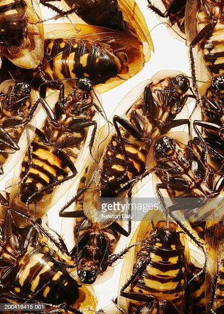False death's head cockroaches (Blaberus discoidalis), close up
